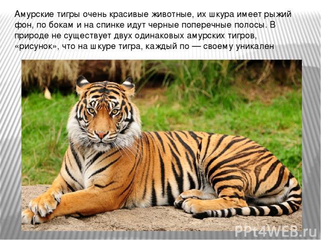 Амурские тигры очень красивые животные, их шкура имеет рыжий фон, по бокам и на спинке идут черные поперечные полосы. В природе не существует двух одинаковых амурских тигров, «рисунок», что на шкуре тигра, каждый по — своему уникален