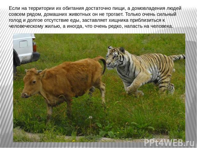 Если на территории их обитания достаточно пищи, а домовладения людей совсем рядом, домашних животных он не трогает. Только очень сильный голод и долгое отсутствие еды, заставляет хищника приблизиться к человеческому жилью, а иногда, что очень редко,…