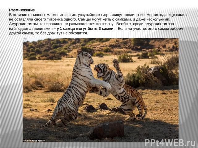 Размножение В отличие от многих млекопитающих, уссурийские тигры живут поодиночке. Но никогда еще самка не оставляла своего тигренка одного. Самцы могут жить с самками, и даже несколькими. Амурские тигры, как правило, не размножаются по сезону.. Воо…