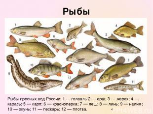 Рыбы Рыбы пресных вод России: 1 — голавль 2 — ерш; 3 — жерех; 4 — карась; 5 — ка