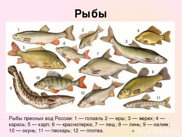 Рыбы Рыбы пресных вод России: 1 — голавль 2 — ерш; 3 — жерех; 4 — карась; 5 — карп; 6 — красноперка; 7 — лещ; 8 — линь; 9 — налим; 10 — окунь; 11 — пескарь; 12 — плотва.
