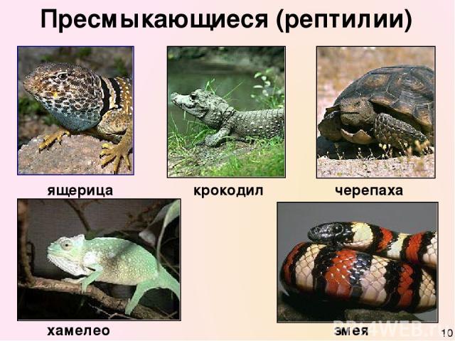 Пресмыкающиеся (рептилии) ящерица черепаха крокодил хамелеон змея