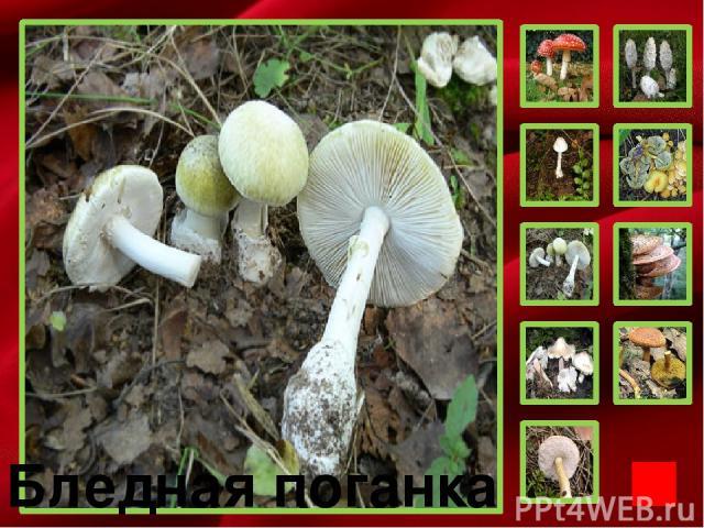 Дорогой друг! Приглашаю тебя к себе в гости в лес. Я познакомлю тебя с опасностями, которые тебе могут встретиться – ядовитыми грибами.