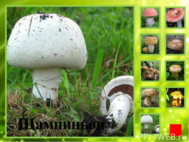 Дорогой друг! Приглашаю тебя к себе в гости в лес. Я познакомлю тебя со своим друзьями – съедобными грибами.