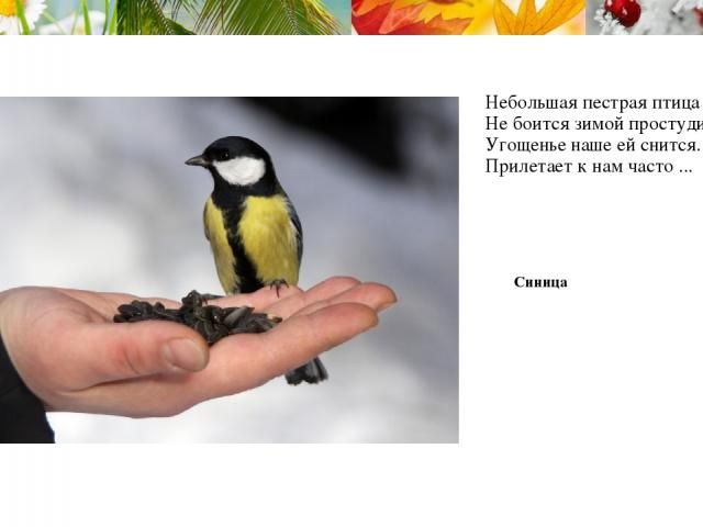 Небольшая пестрая птица Не боится зимой простудиться, Угощенье наше ей снится. Прилетает к нам часто ... Синица