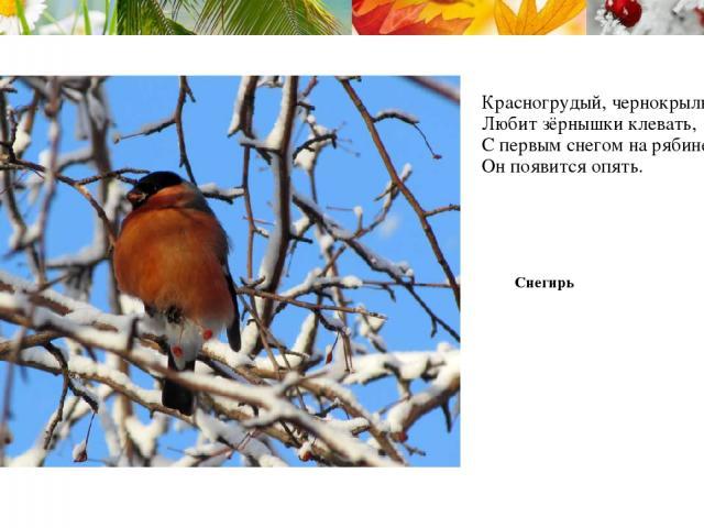 Красногрудый, чернокрылый, Любит зёрнышки клевать, С первым снегом на рябине Он появится опять. Снегирь