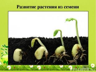 Развитие растения из семени