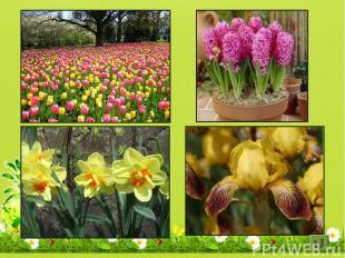 Тюльпан, гиацинт, нарцисс, ирис