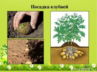Картофель, топинамбур, цикламен, георгин, глоксиния