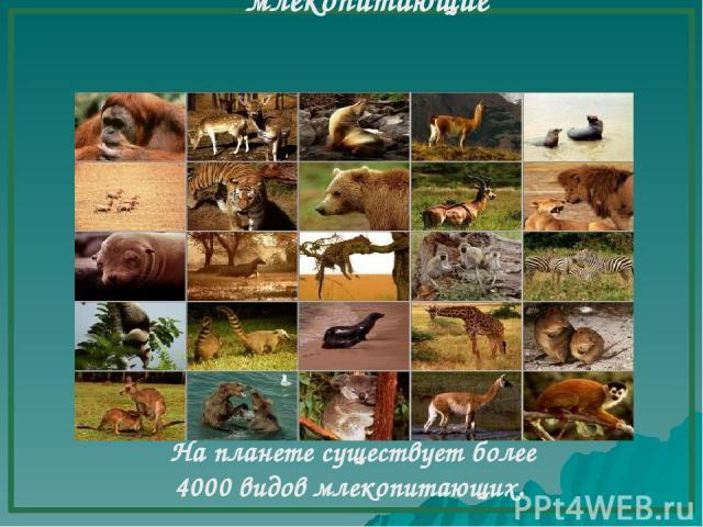млекопитающие На планете существует более 4000 видов млекопитающих.