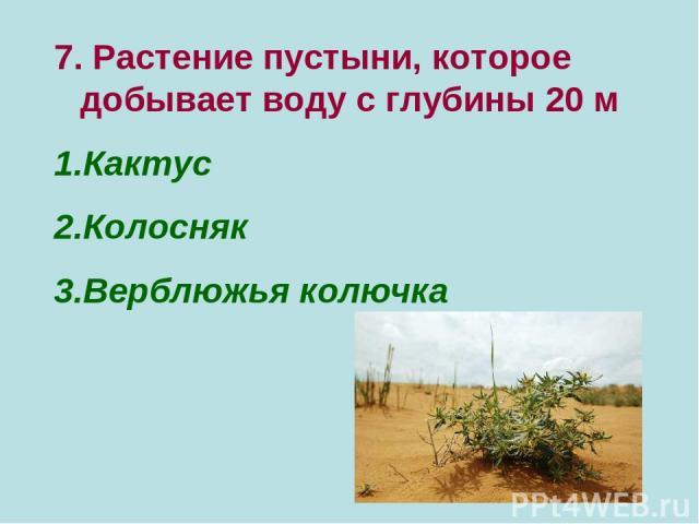 7. Растение пустыни, которое добывает воду с глубины 20 м Кактус Колосняк Верблюжья колючка