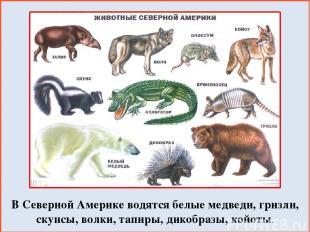 В Северной Америке водятся белые медведи, гризли, скунсы, волки, тапиры, дикобра