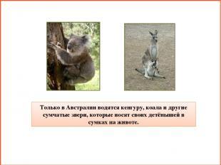 Только в Австралии водятся кенгуру, коала и другие сумчатые звери, которые носят