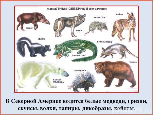 В Северной Америке водятся белые медведи, гризли, скунсы, волки, тапиры, дикобразы, койоты.