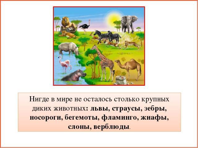 Нигде в мире не осталось столько крупных диких животных: львы, страусы, зебры, носороги, бегемоты, фламинго, жиафы, слоны, верблюды.