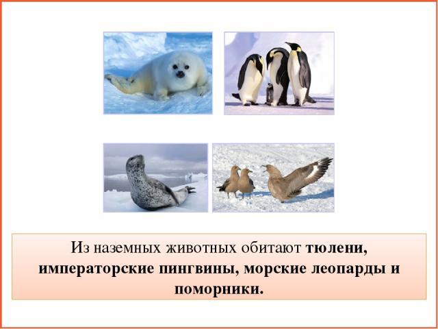 Из наземных животных обитают тюлени, императорские пингвины, морские леопарды и поморники.
