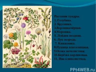 Растения тундры. 1. Голубика. 2. Брусника. 3.Вороникачёрная. 4.Морошка. 5. Лойди