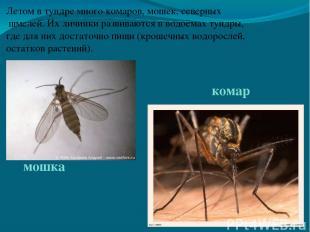 Летом в тундре много комаров, мошек, северных шмелей. Их личинки развиваются в в