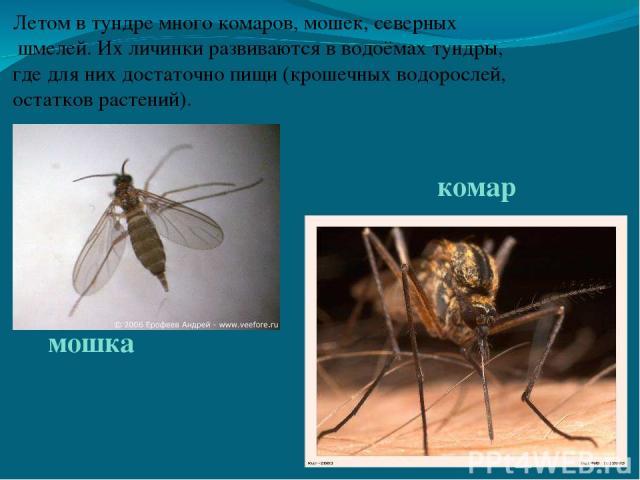 Летом в тундре много комаров, мошек, северных шмелей. Их личинки развиваются в водоёмах тундры, где для них достаточно пищи (крошечных водорослей, остатков растений). комар мошка