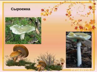 Загадка №3 Этот гриб живет под елью, Под ее огромной тенью. Мудрый бородач-стари