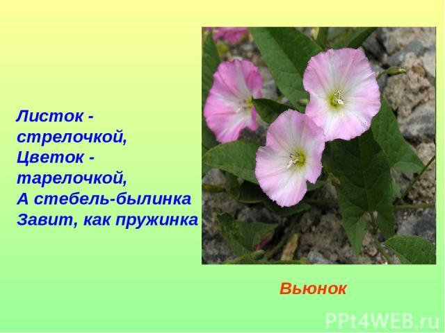 Листок - стрелочкой, Цветок - тарелочкой, А стебель-былинка Завит, как пружинка Вьюнок