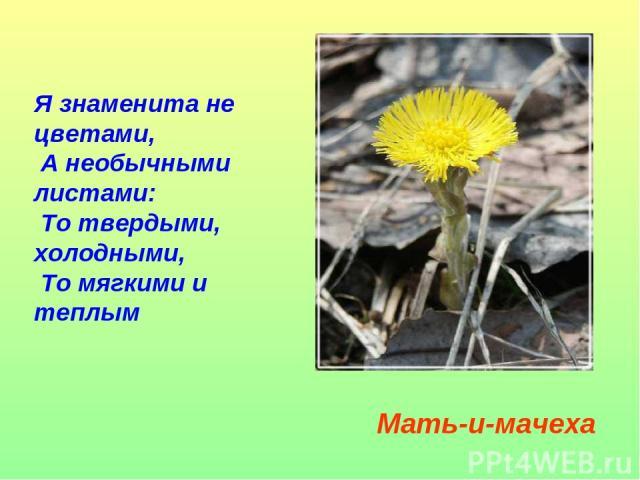 Я знаменита не цветами, А необычными листами: То твердыми, холодными, То мягкими и теплым Мать-и-мачеха