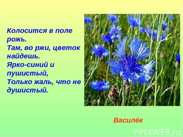 Колосится в поле рожь. Там, во ржи, цветок найдешь. Ярко-синий и пушистый, Только жаль, что не душистый. Василёк