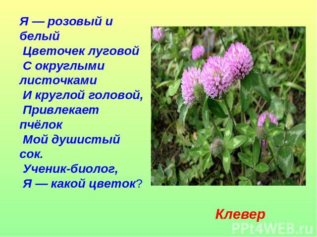 Я — розовый и белый Цветочек луговой С округлыми листочками И круглой головой, Привлекает пчёлок Мой душистый сок. Ученик-биолог, Я — какой цветок? Клевер