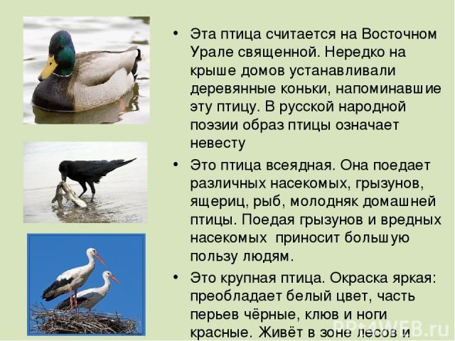 Эта птица считается на Восточном Урале священной. Нередко на крыше домов устанавливали деревянные коньки, напоминавшие эту птицу. В русской народной поэзии образ птицы означает невесту Это птица всеядная. Она поедает различных насекомых, грызунов, я…