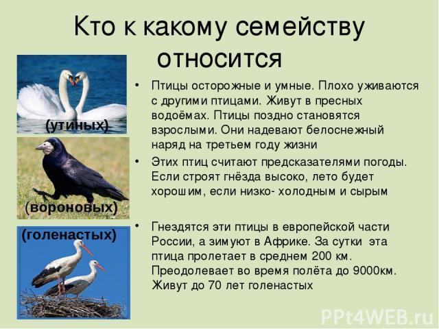Кто к какому семейству относится Птицы осторожные и умные. Плохо уживаются с другими птицами. Живут в пресных водоёмах. Птицы поздно становятся взрослыми. Они надевают белоснежный наряд на третьем году жизни Этих птиц считают предсказателями погоды.…