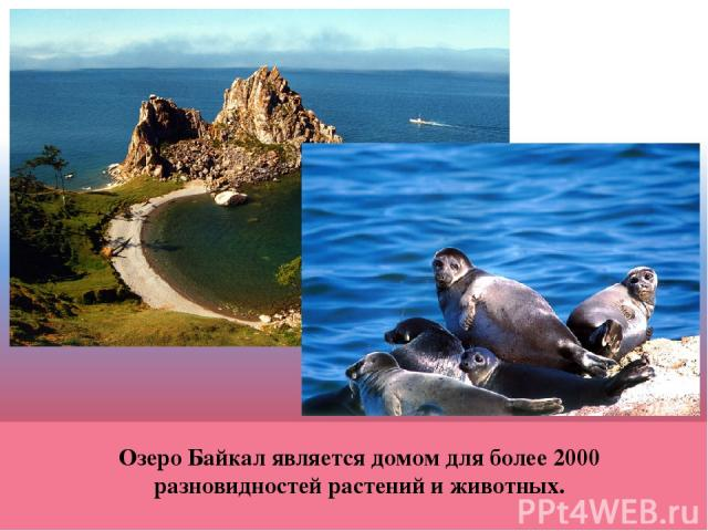 Озеро Байкал является домом для более 2000 разновидностей растений и животных.