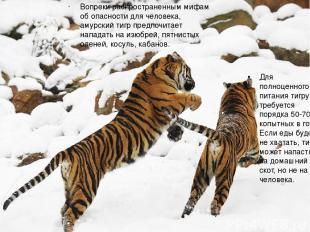 Вопреки распространенным мифам об опасности для человека, амурский тигр предпочи