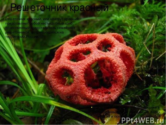 Решеточник красный Решеточник красный, или клатрус красный, представляет собой несъедобный гриб, единственный представитель семейства решеточников, встречающийся на территории России. Растет исключительно поодиночке в лиственных, реже смешанных леса…