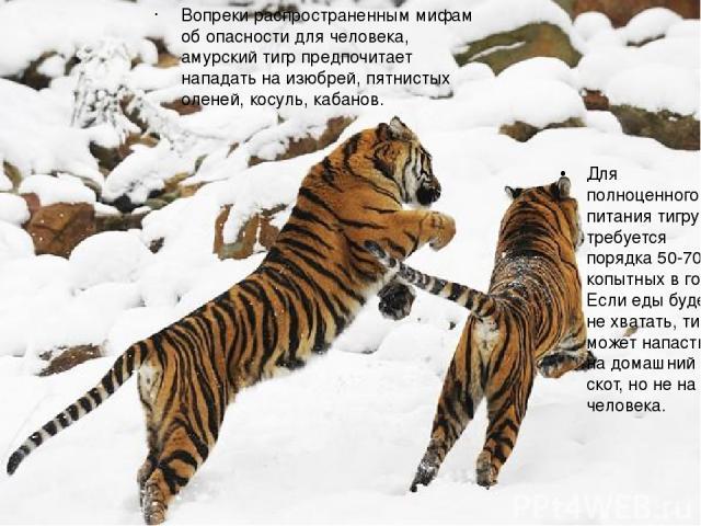 Вопреки распространенным мифам об опасности для человека, амурский тигр предпочитает нападать на изюбрей, пятнистых оленей, косуль, кабанов. Для полноценного питания тигру требуется порядка 50-70 копытных в год. Если еды будет не хватать, тигр может…