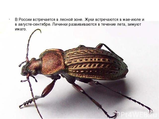 В России встречается в лесной зоне. Жуки встречаются в мае-июле и в августе-сентябре. Личинки развививаются в течение лета, зимуют имаго.