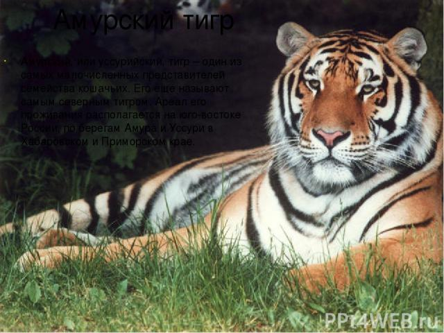 Амурский тигр Амурский, или уссурийский, тигр – один из самых малочисленных представителей семейства кошачьих. Его еще называют самым северным тигром. Ареал его проживания располагается на юго-востоке России, по берегам Амура и Уссури в Хабаровском …
