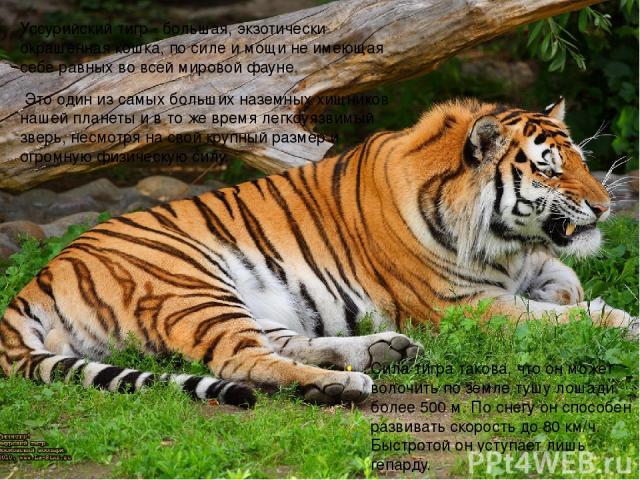 Уссурийский тигр - большая, экзотически окрашенная кошка, по силе и мощи не имеющая себе равных во всей мировой фауне. Это один из самых больших наземных хищников нашей планеты и в то же время легкоуязвимый зверь, несмотря на свой крупный размер и о…
