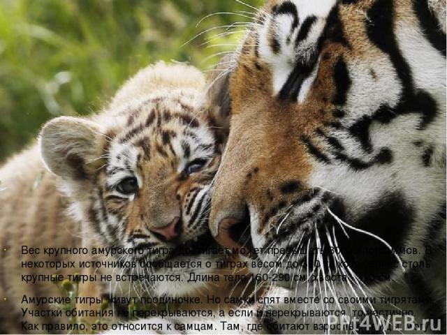 Вес крупного амурского тигра достигает может превышать 300 килограммов. В некоторых источников сообщается о тиграх весом до 390 кг, хотя сейчас столь крупные тигры не встречаются. Длина тела 160-290 см, хвоста - 110 см. Амурские тигры живут поодиноч…