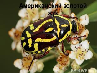 Американский золотой жук