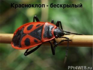 Красноклоп - бескрылый
