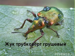 Жук трубковёрт грушевый