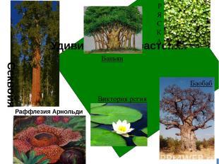 Удивительные растения Секвойя Раффлезия Арнольди Баньян Р Я С К А Баобаб Виктори
