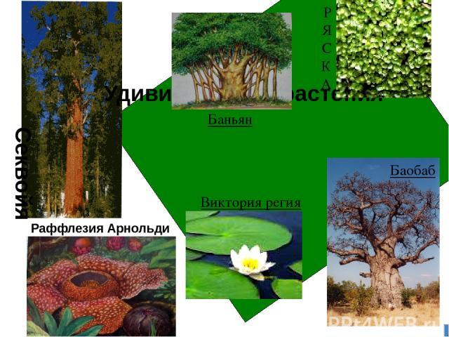 Удивительные растения Секвойя Раффлезия Арнольди Баньян Р Я С К А Баобаб Виктория регия