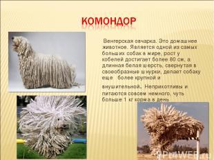 Венгерская овчарка. Это домашнее животное. Является одной из самых больших собак