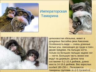 Императорская Тамарина цепкохвостая обезьяна, живет в дождевых бассейна реки Ама