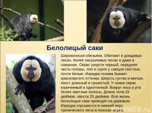 Белолицый саки Широконосая обезьяна. Обитают в дождевых лесах, более засушливых