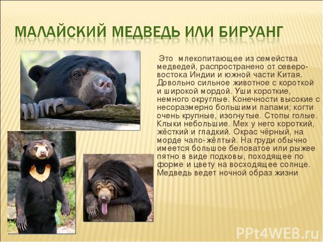 Это млекопитающее из семейства медведей, распространено от северо-востока Индии и южной части Китая. Довольно сильное животное с короткой и широкой мордой. Уши короткие, немного округлые. Конечности высокие с несоразмерно большими лапами; когти оче…