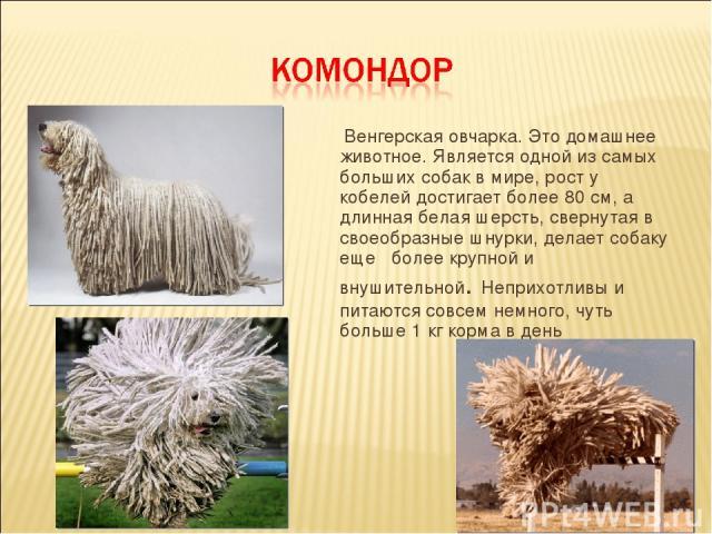 Венгерская овчарка. Это домашнее животное. Является одной из самых больших собак в мире, рост у кобелей достигает более 80 см, а длинная белая шерсть, свернутая в своеобразные шнурки, делает собаку еще более крупной и внушительной. Неприхотливы и пи…