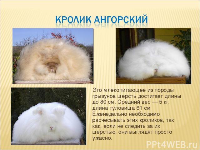 Это млекопитающее из породы грызунов шерсть достигает длины до 80 см. Средний вес — 5 кг, длина туловища 61 см Еженедельно необходимо расчесывать этих кроликов, так как, если не следить за их шерстью, они выглядят просто ужасно.