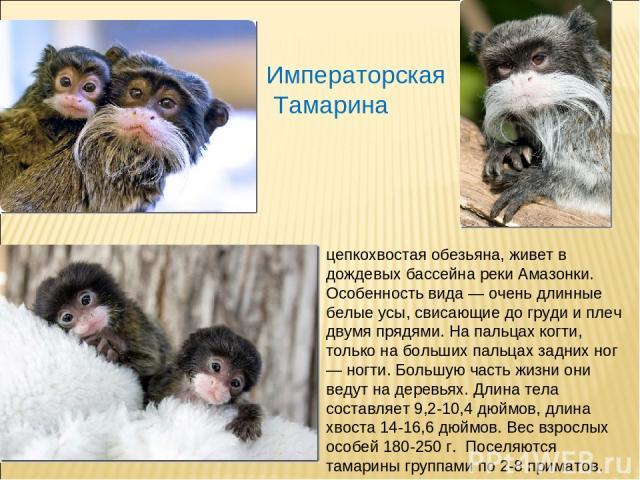 Императорская Тамарина цепкохвостая обезьяна, живет в дождевых бассейна реки Амазонки. Особенность вида — очень длинные белые усы, свисающие до груди и плеч двумя прядями. На пальцах когти, только на больших пальцах задних ног — ногти. Большую част…